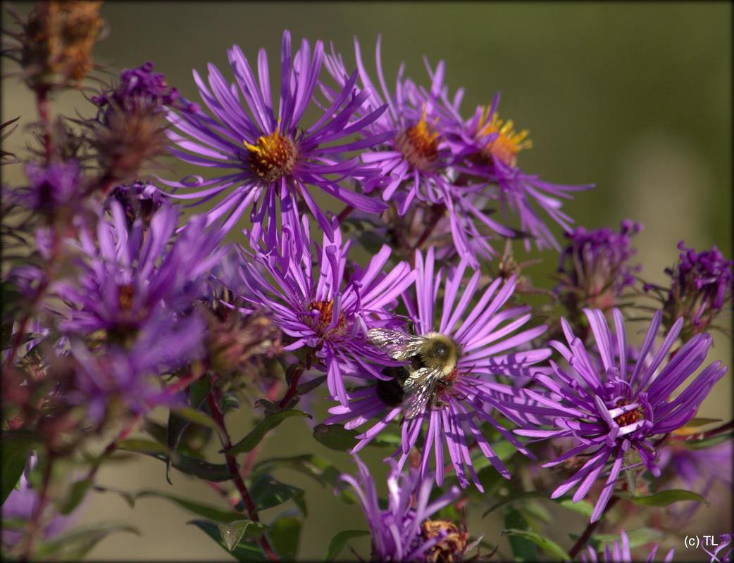 Bee Attracting Perennials Claussens Florist Greenhouse And